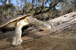 Bum-breathing turtles at risk of extinction